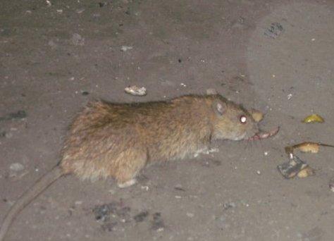 Файл:Rat.jpg