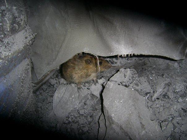 Файл:Rat2.jpg